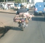 transporting pigs