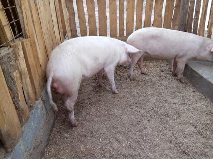 Livestock Kenya Pig Housing Plans For Small Scale Farmers