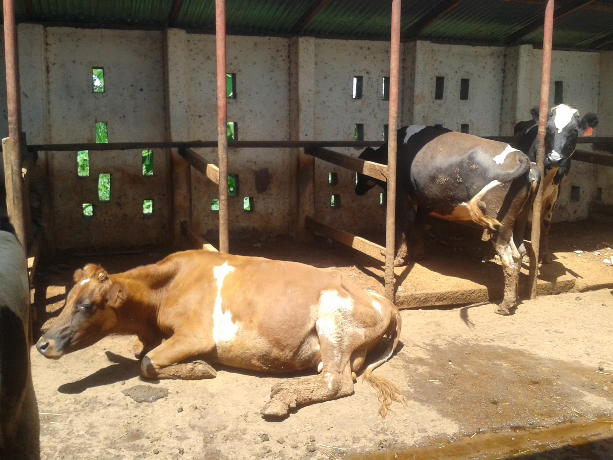 Cows in a zero grazing unit