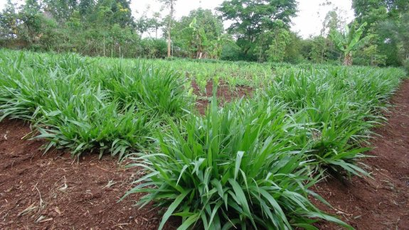 Livestock Kenya - Brachiaria grass will make your cow