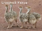 Healthy ostrich chicks, hatching eggs  and other Birds for s